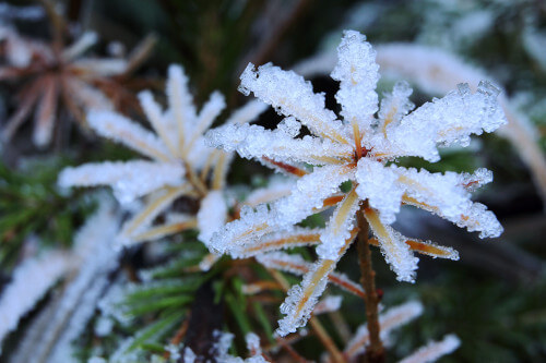 Larch frost
